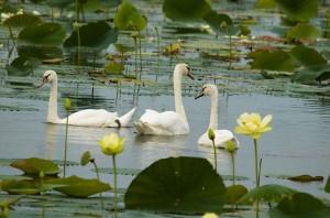 Swans_Lotus-Lake