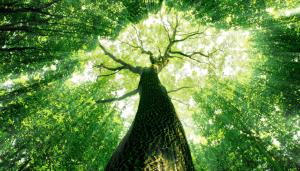 divine tree