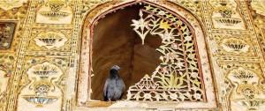 индийски гълъб