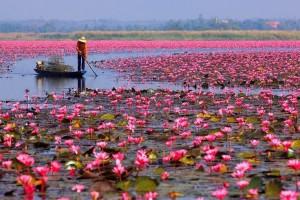 pink-lotus-pink-pond